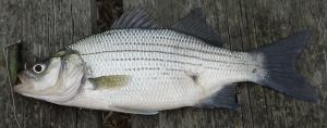 White_Bass,_Caught_and_Released